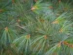pine_10881cnp